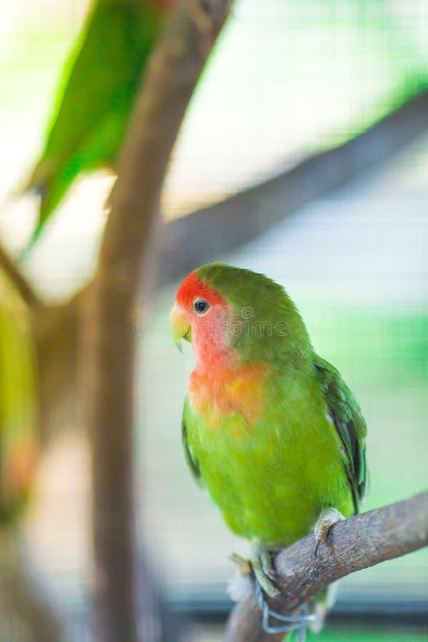 Lovebird papugi siedzi na gałąź zdjęcia royalty free