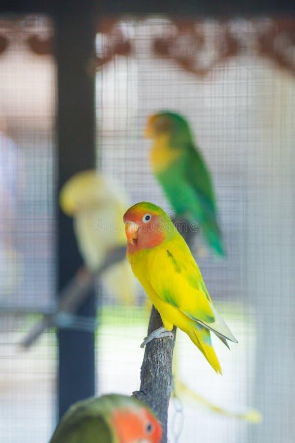 Lovebird papugi siedzi na gałąź zdjęcia stock