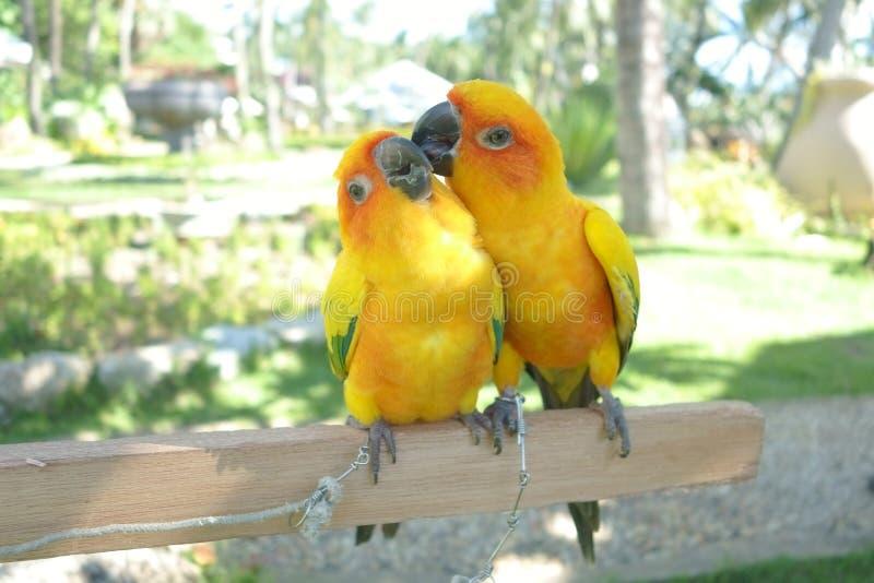 Lovebird pary Kolorowa papuga W zoo obraz royalty free