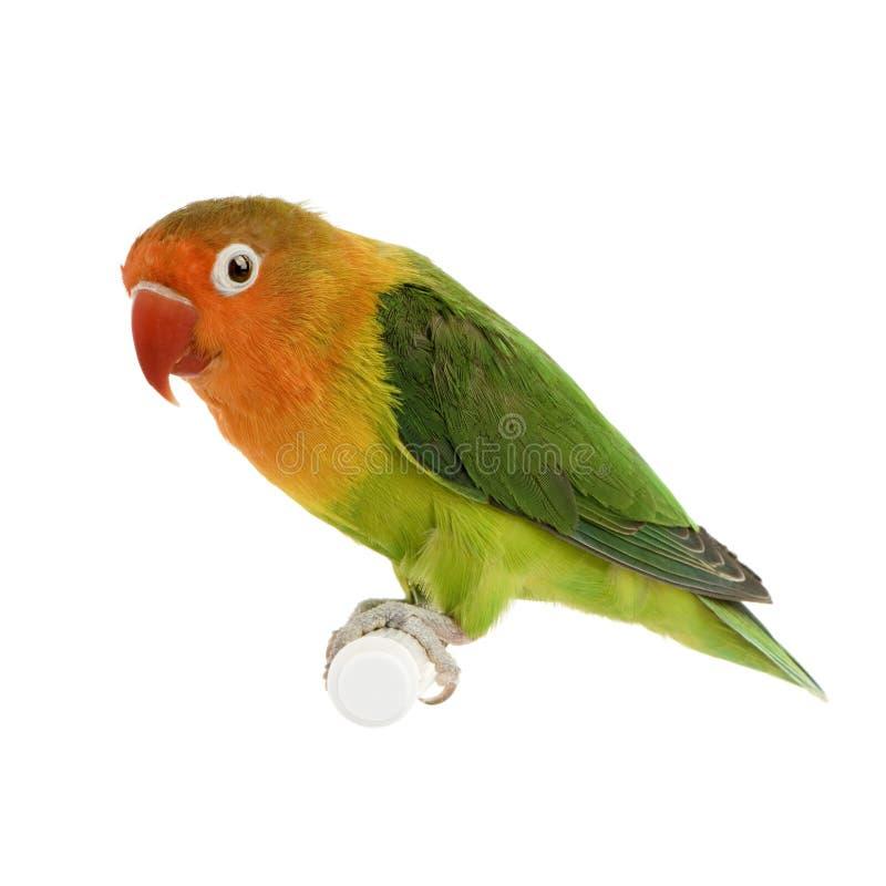 Lovebird Pesca-affrontato immagine stock libera da diritti
