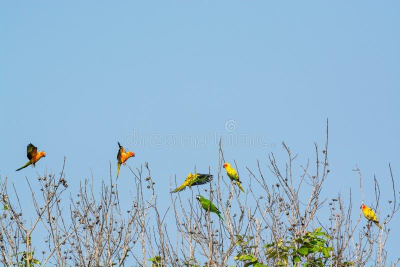 Lovebird, piękna Mała papuga w naturze obrazy royalty free