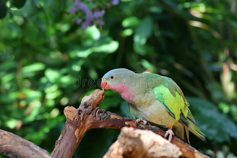 Download Lovebird With Pink And Green Feathers Royalty Free Stock Photography - Image: 15008237