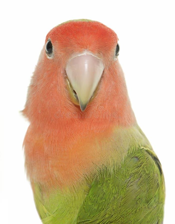 lovebird stawiająca czoło brzoskwinia zdjęcia stock