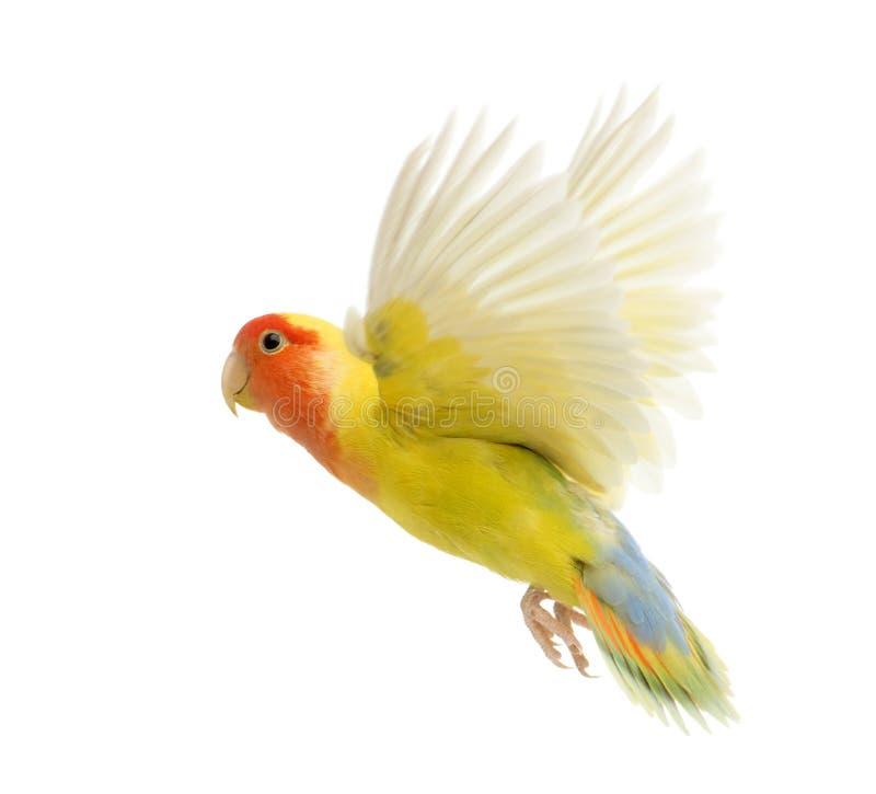 Lovebird stawiający czoło latanie zdjęcie stock