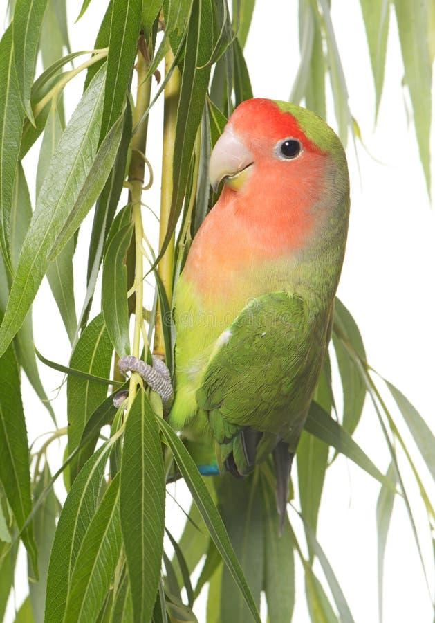 Lovebird tyczenie na liściu obraz stock