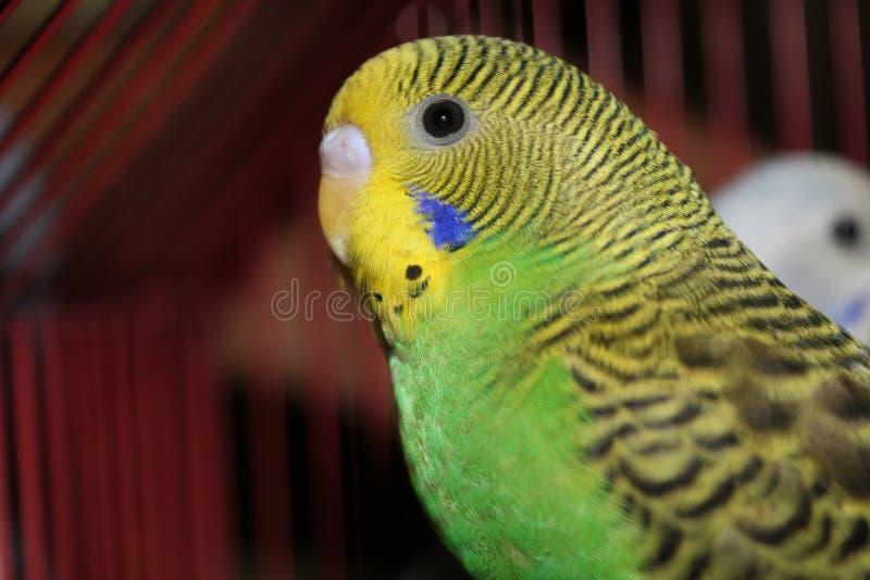 Lovebird zieleni i koloru żółtego Piękny lovebird zdjęcie royalty free