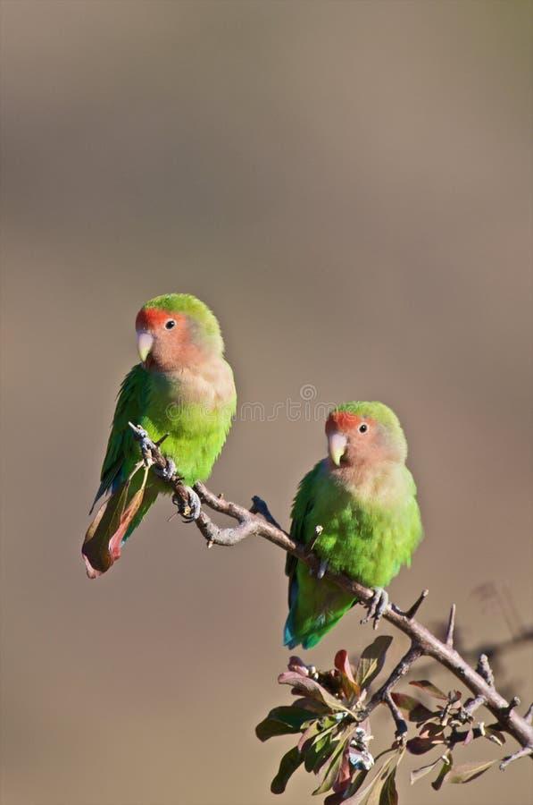 Lovebirds immagine stock