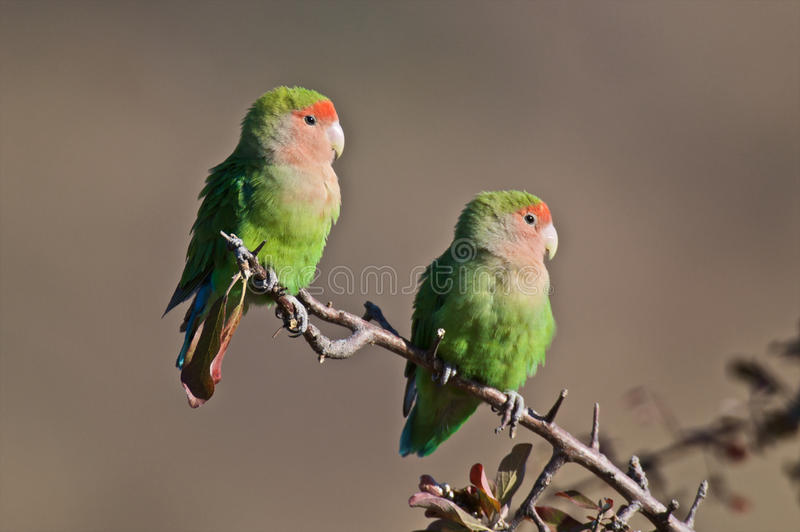 Lovebirds. Mate for live....These agapornids live in south western Africa,on the arid savanna stock image