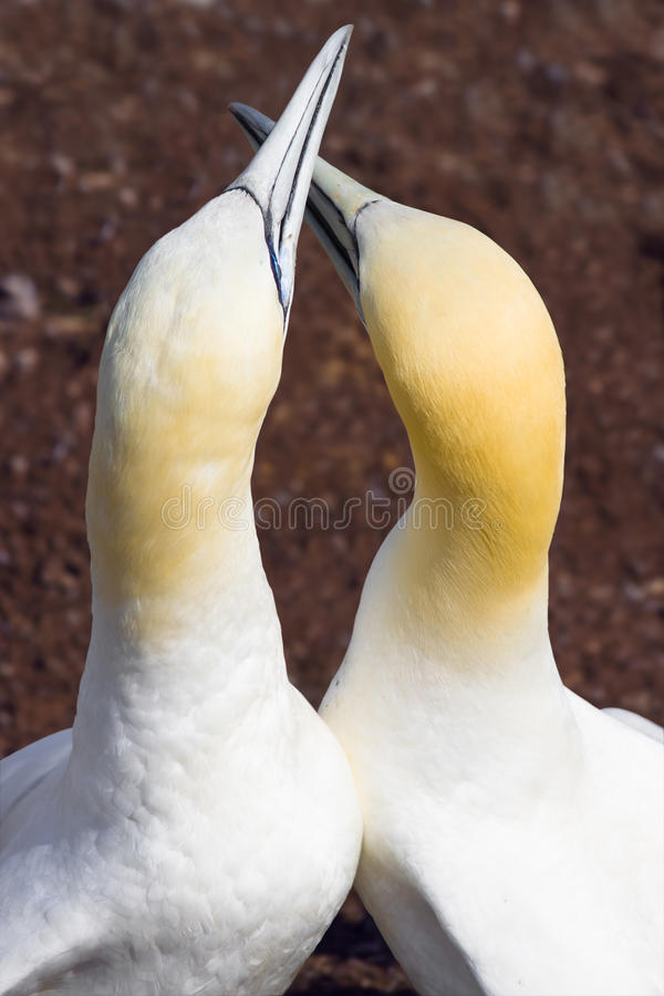 Download Lovebirds stock image. Image of love, gannet, gaspe, park - 15393499