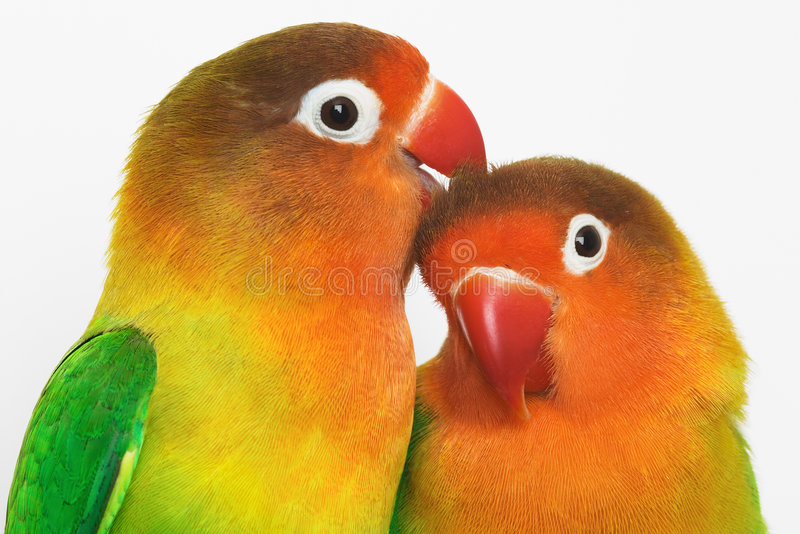 Lovebirds royalty free stock photography