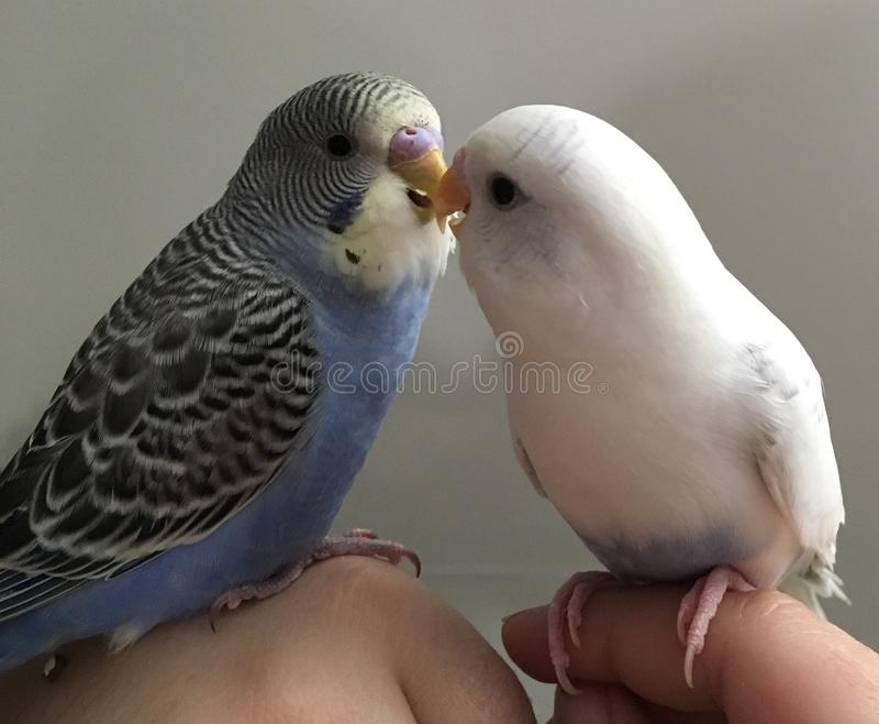 lovebirds lizenzfreie stockfotos