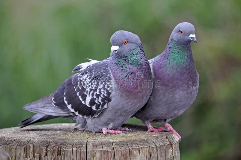 lovebirds immagini stock