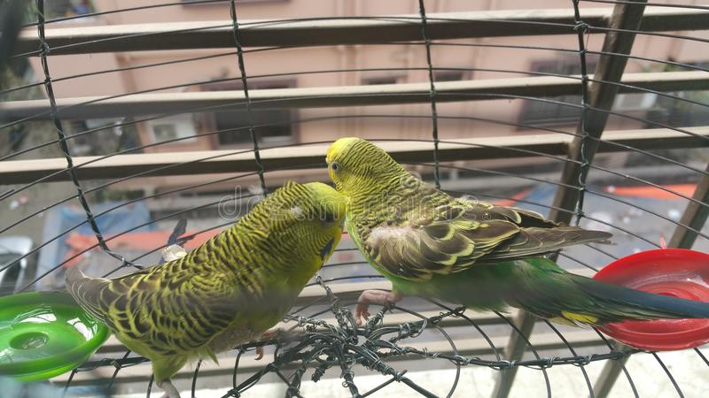 2 Lovebirds stock image