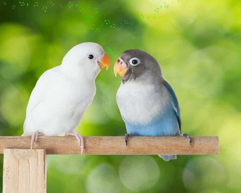 Lovebirds opowiada na żerdzi z serce kształtować muzykalnymi notatkami na zamazanym zielonym bokeh tle zdjęcie stock