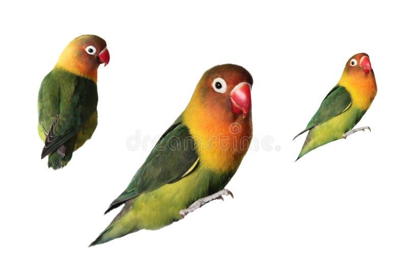 Lovebirds papugi na białym tle royalty ilustracja