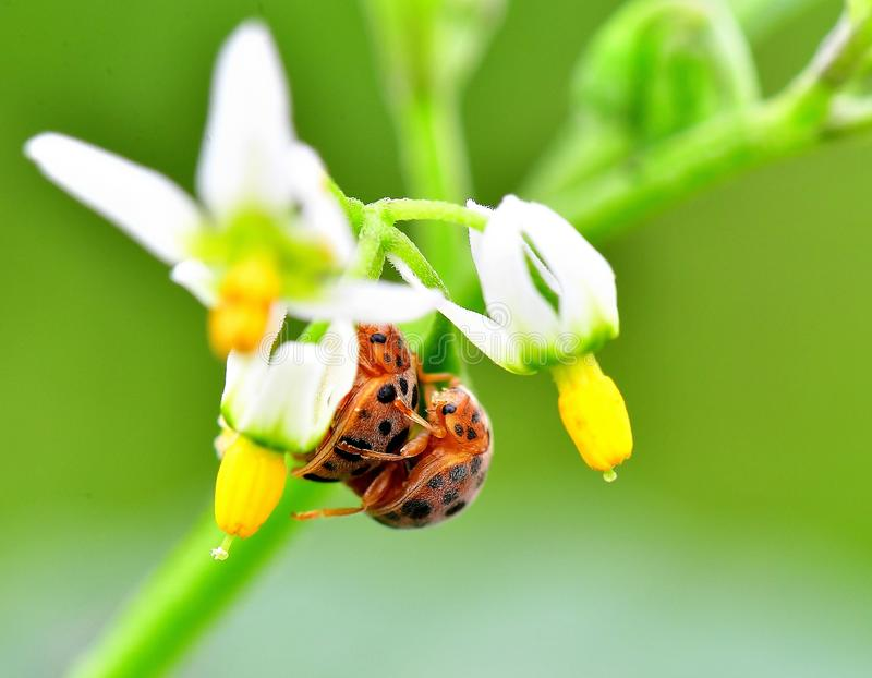 Loved ladybugs. In the morning, a pair of ladybugs are mating under the flowers, and this is the best time to shoot, because they are almost motionless. In order royalty free stock photography