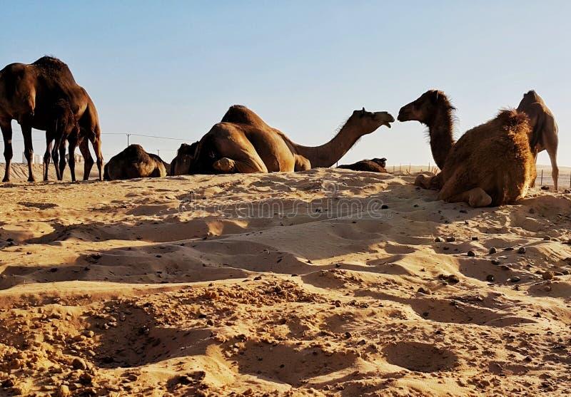 Lovee wśród wielbłądów zdjęcia stock