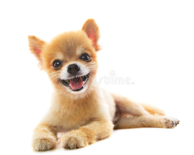 Lovely acting of pomeranian puppy dog isolated white background. Use for pets ,adorable animals theme stock photography