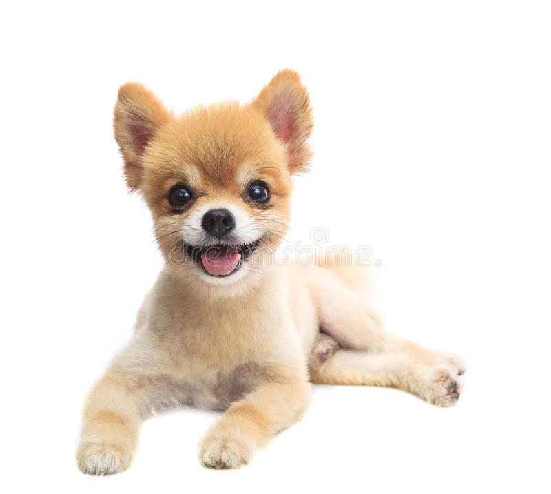 Lovely acting of pomeranian puppy dog isolated whtie background stock photo
