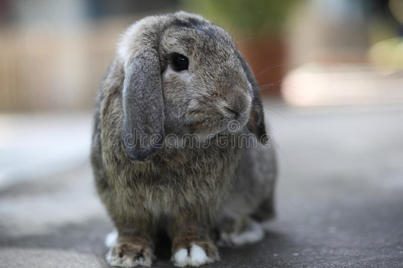 Lovely Adorable brown holland lop rabbit bunny stock photography