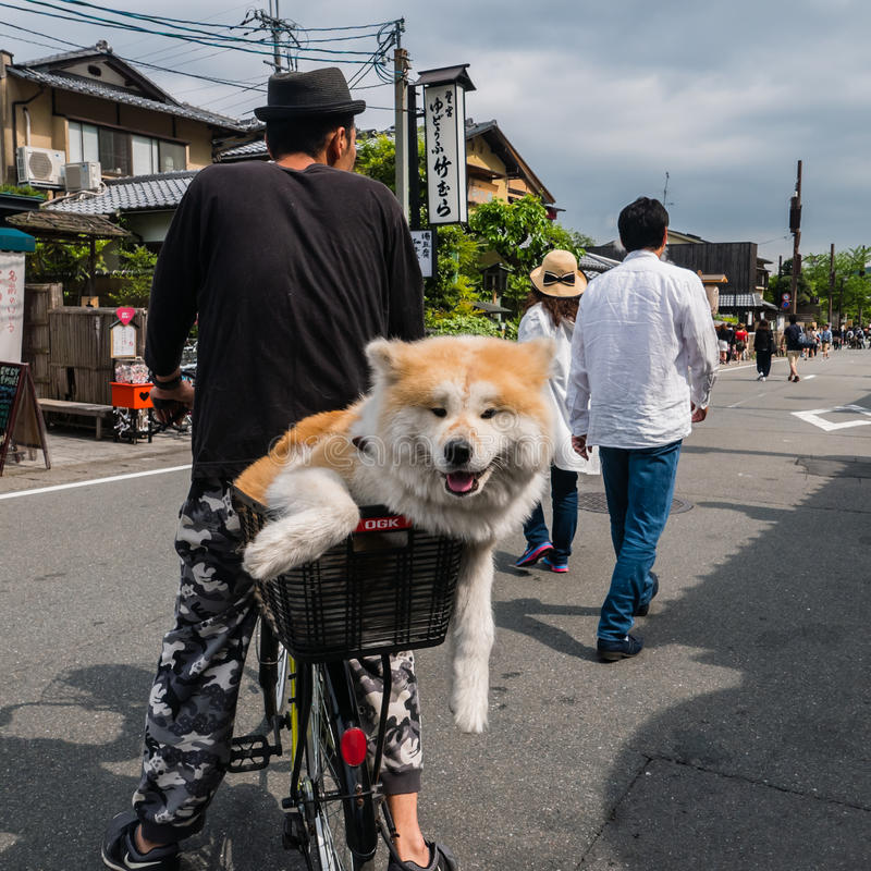 Lovely Akita dog on a bicycle stock image
