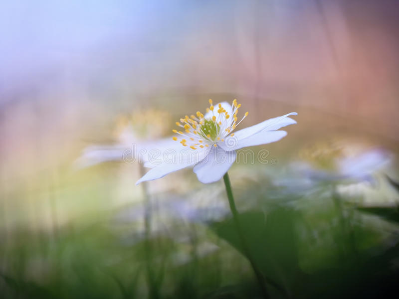 Lovely Anemone. Lovely white anemone flower in the forest. Soft bokeh and very shallow depth of field. Spring Flower on a wam day stock photos