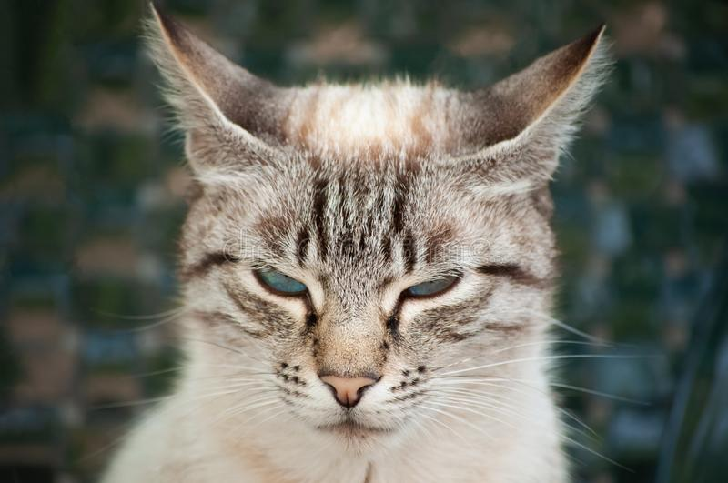 Lovely angry cat with blue eyes and striped fur. royalty free stock images