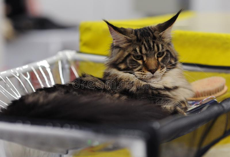 Lovely animals at the cat show stock photography