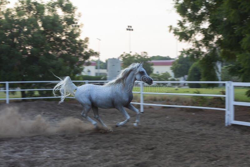 Lovely Arabian White horse, dubai royalty free stock image