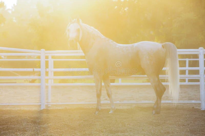 Lovely Arabian White horse, dubai stock photos