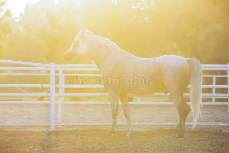 Lovely Arabian White horse, dubai stock image