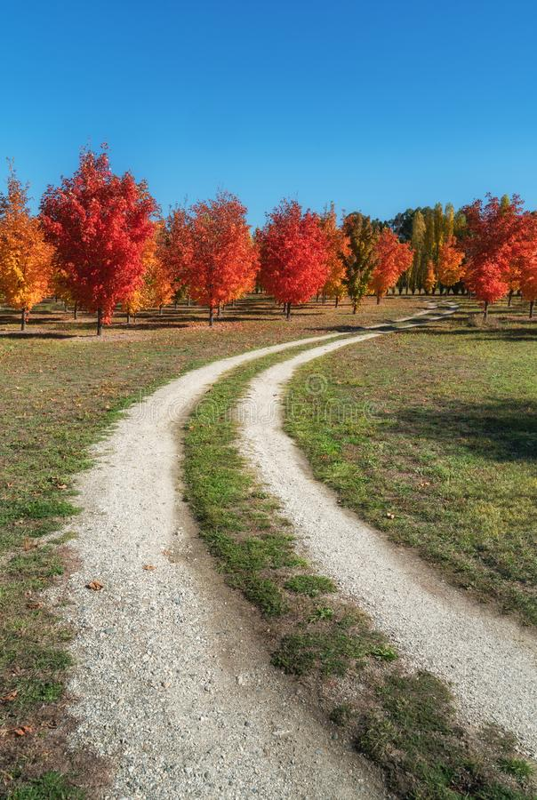 A lovely autumn maple trees on a dirt road in Roxburgh royalty free stock photos