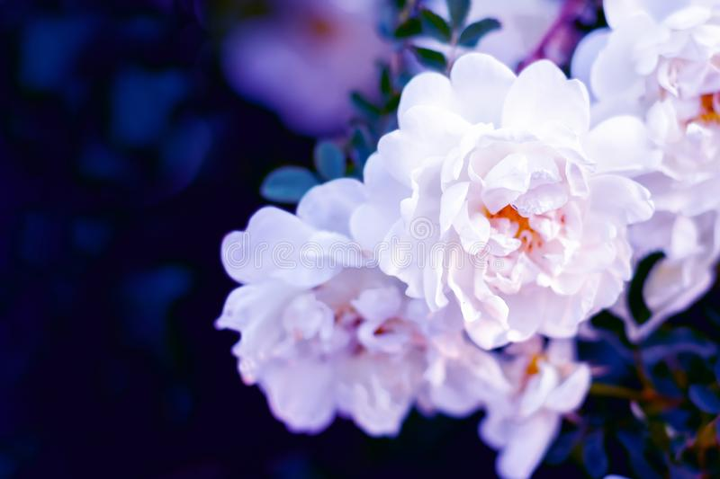 Lovely background made of white dog rose flowers, background for party cards and invitations, royalty free stock photos