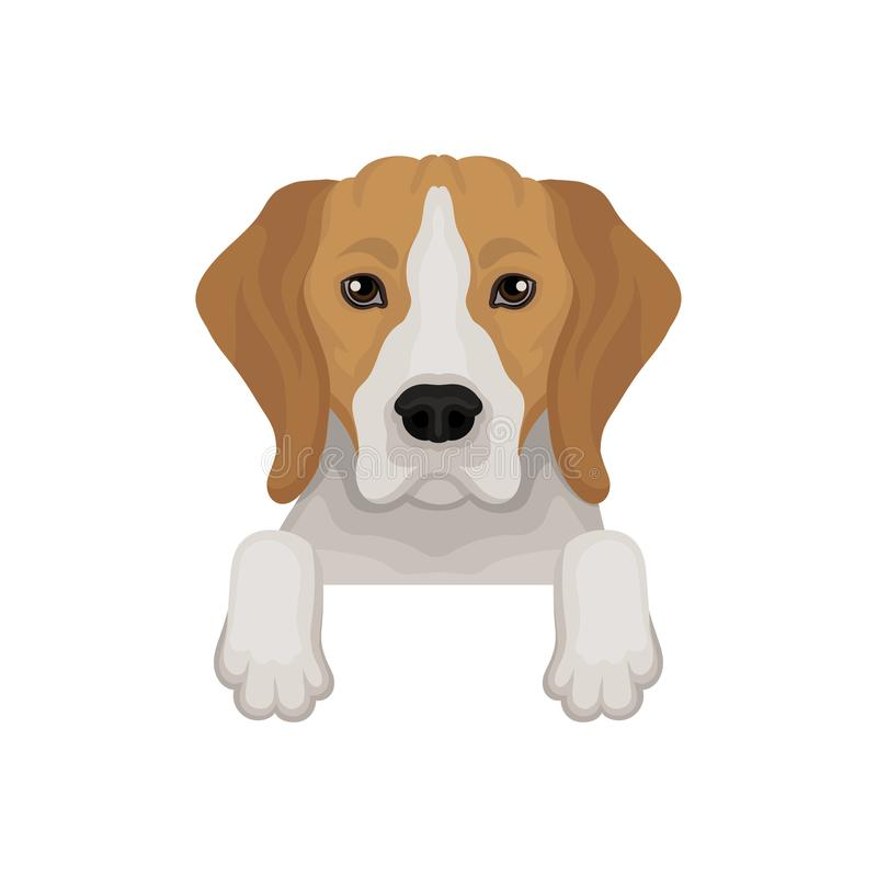 Lovely beagle dog peeking out from border. Cute muzzle and paws. Flat vector for advertising banner or flyer of vet royalty free illustration