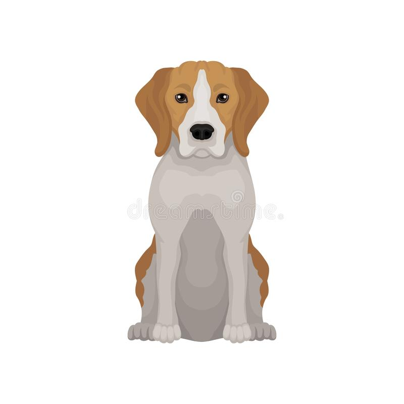 Lovely beagle in sitting position. Small hunting dog. Short-haired puppy with long ears and cute muzzle. Flat vector. Lovely beagle in sitting position. Small stock illustration