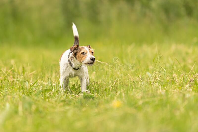 Lovely beauty Parson Russell Terrier dog stands in a green meadow in front of green background an is looking stock photos