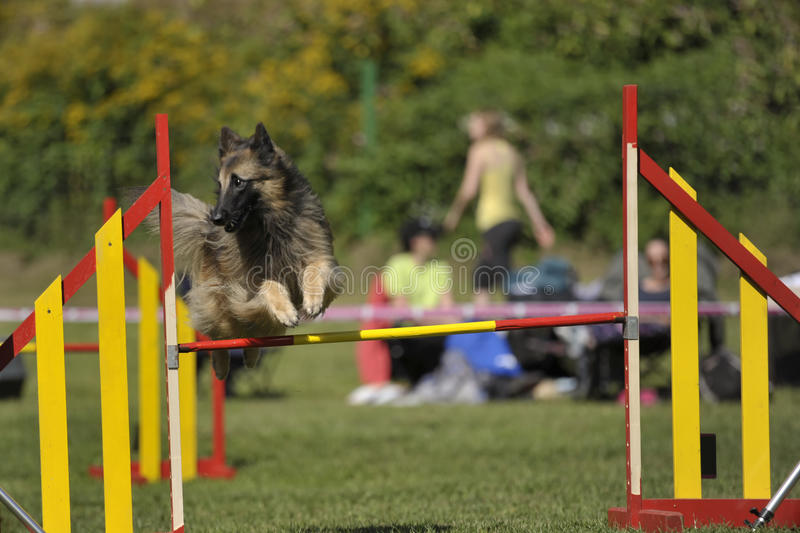Lovely Belgian shepherd - Tervueren jumping on agility competition. His jump is elegant and thorough royalty free stock image