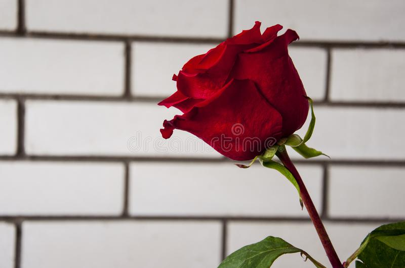 Lovely big  flower of rose of vinous red color. Green leaves and thorns. Still life. Light brick background royalty free stock photo