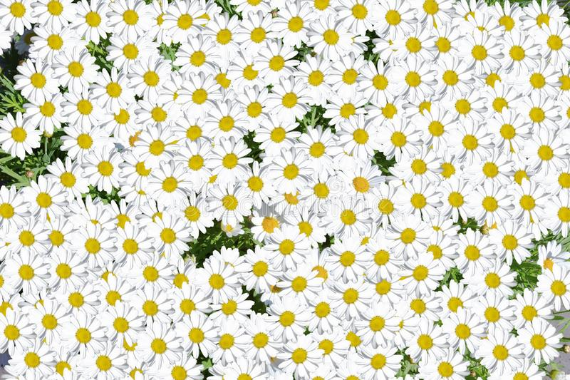 Lovely blossom daisy flowers background group of chamomile flower heads, cute white design. Nature stock image