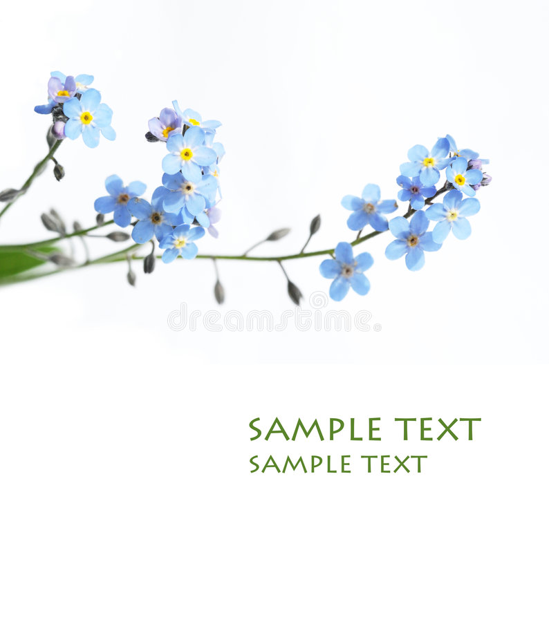 Lovely blue flowers royalty free stock photo