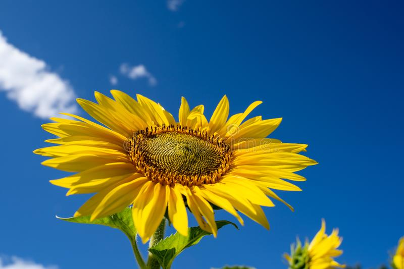 Lovely bright happy sunflower looking up to the blue summer sky stock photo