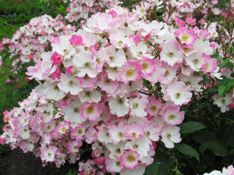 Lovely Bright White Pink Rose Flowers Blossom In Park Garden 2019. Lovely Bright White Pink Rose Flowers Blossom In Vancouver Stanley Park Rose Garden In Summer stock image