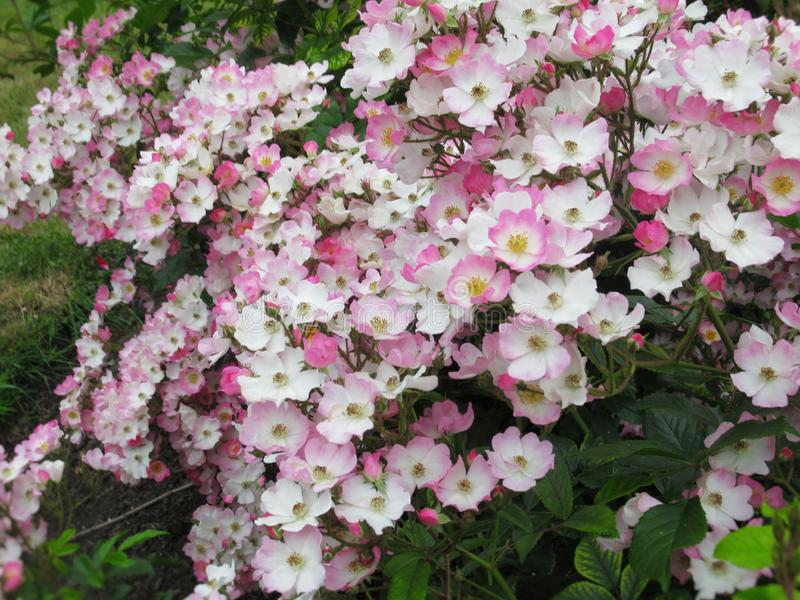 Lovely Bright White Pink Rose Flowers Blossom In Park Garden 2019. Lovely Bright White Pink Rose Flowers Blossom In Vancouver Stanley Park Rose Garden In Summer stock photo