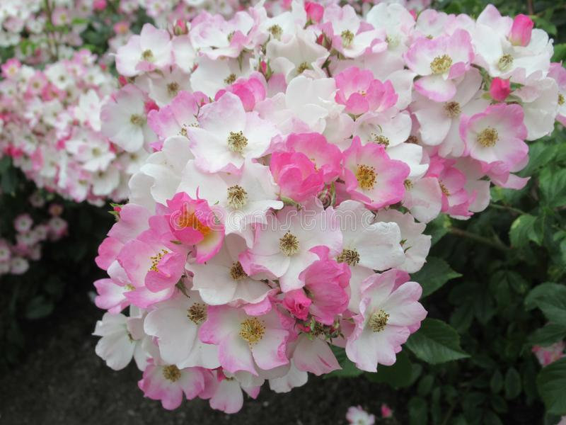 Lovely Bright White Pink Rose Flowers Blossom In Park Garden 2019. Lovely Bright White Pink Rose Flowers Blossom In Vancouver Stanley Park Rose Garden In Summer stock photos