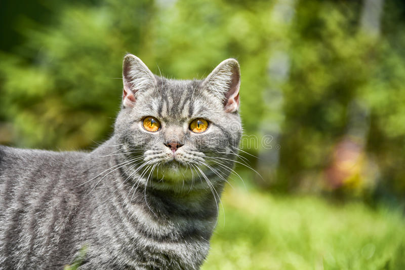 Lovely British kitten in a green grass royalty free stock photo
