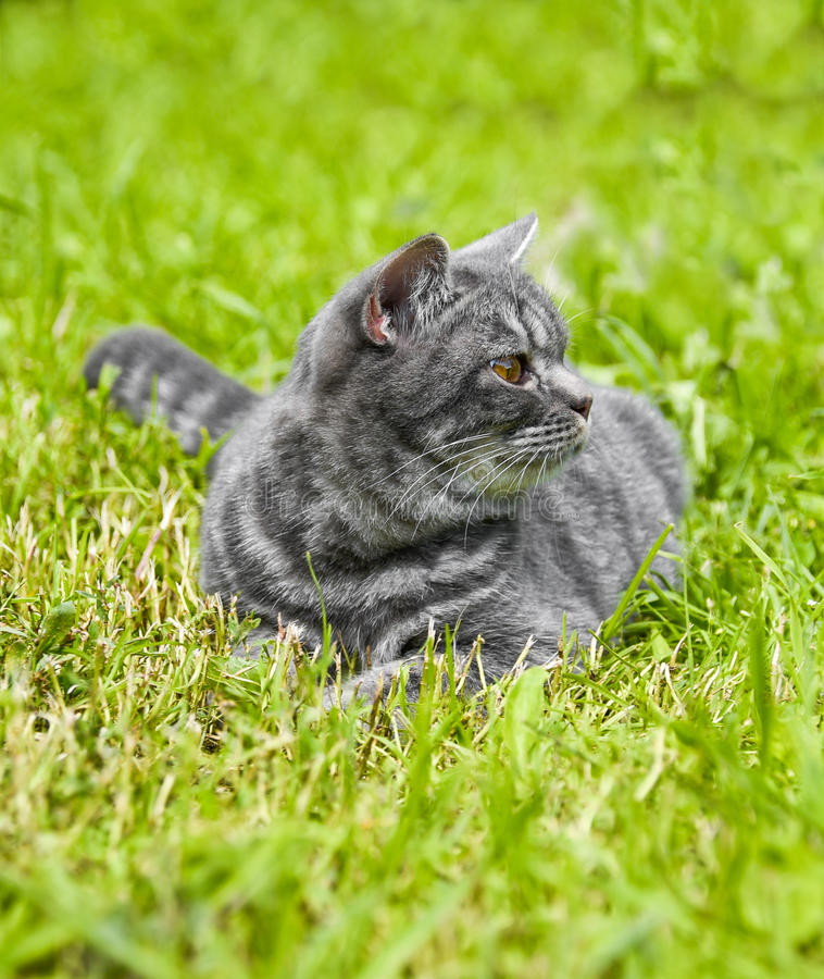 Lovely British kitten in a green grass royalty free stock images