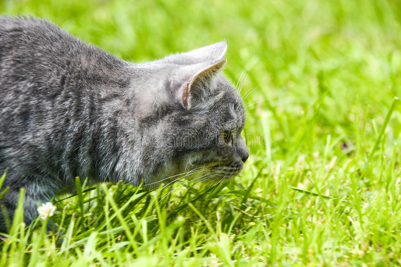 Lovely British kitten in a green grass stock photography