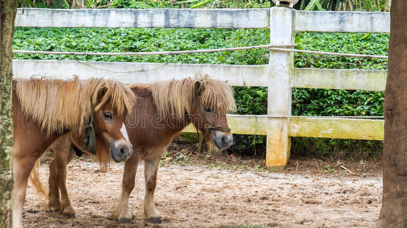 Lovely Brown Pony Couple Stand Together under The Big Tree royalty free stock images