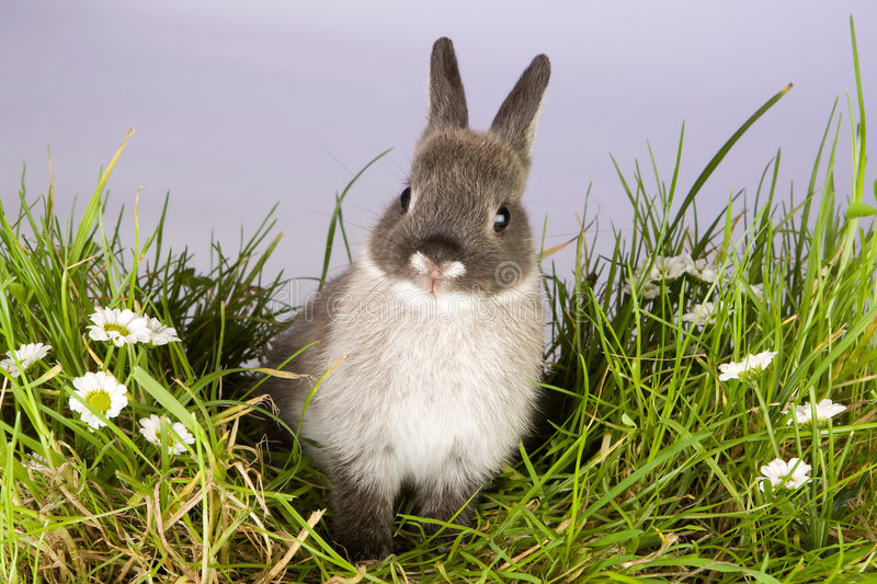 Lovely bunny. Lovely little easter bunny on a patch of grass and daisies stock photos