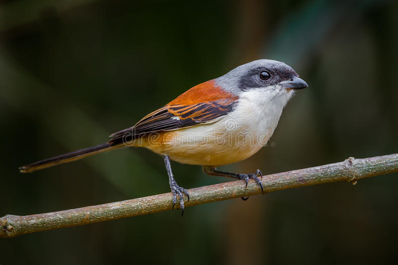 Lovely Burmese Shrike royalty free stock image